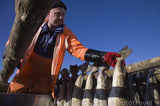 """Trabajadores extranjeros colgando bacalao """"Gadus morhua"""" fresco sin salar para su secado. Sur de la isla de ROST. Circulo polar artico. Noruega. Rost Island. Norway"""