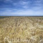 Campo de cultivo de cereales cerca de la poblacion de ZORITA DE LA FRONTERA. Provincia de Salamanca. España. Spain. Provincia de Salamanca. España. Spain