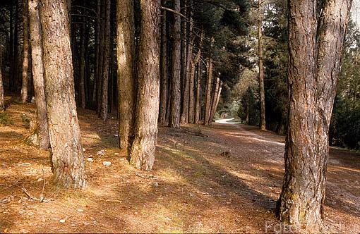 Bosque de pinos. Parque Natural del Cañon del rio Lobos. SORIA. Castilla y León. España