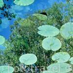 Nenúfares en el rio. Parque Natural del Cañon del rio Lobos. SORIA. Castilla y León. España