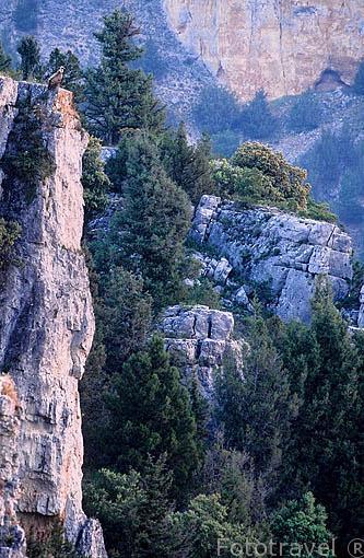 """Buitre leonado. """"Gyps fulvus"""" en una pared del Parque Natural del Cañon del rio Lobos. SORIA. Castilla y León. España"""