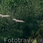 """Pareja de buitres leonados en vuelo. """"Gyps fulvus"""". Parque Natural del Cañon del rio Lobos. SORIA. Castilla y León. España"""