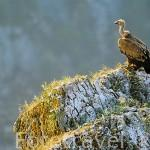 """Buitre leonado. """"Gyps fulvus"""". Parque Natural del Cañon del rio Lobos. SORIA. Castilla y León. España"""