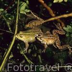 """Pareja de ranas comunes """"Rana perezi"""". Parque Natural del Cañon del rio Lobos. SORIA. Castilla y León. España"""