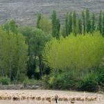 Pastor y ovejas en los alrededores del Parque Natural del Cañon del rio Lobos. SORIA. Castilla y León. España