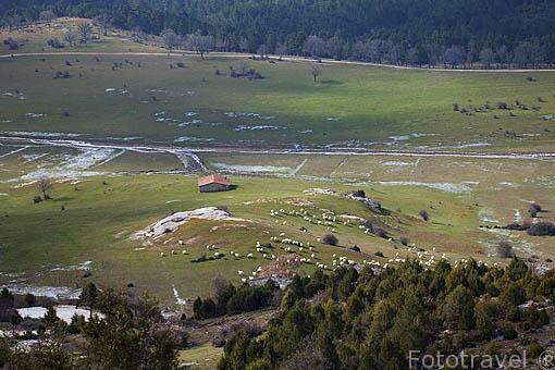Ovejas. Cerca del Parque Natural del Cañón del rio Lobos. Soria. España