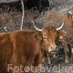 Ganado vacuno. Cerca del Parque Natural del Cañón del rio Lobos. Soria. España