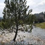Pino creciendo en el agua. Puente de los Siete Ojos sobre el rio Lobos. Parque Natural del Cañón del rio Lobos. Soria. España