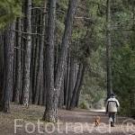 Senderista y pinares. Parque Natural del Cañón del rio Lobos. Soria. España