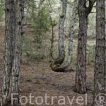 Pinares. Parque Natural del Cañón del rio Lobos. Soria. España