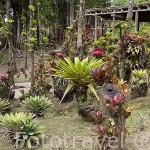 Bromelias varias en el Jardin Balata. Norte de la isla de MARTINICA. Francia. Caribe