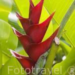 """Heliconia caribaea ""Purpurea"". Musaceae. Isla de MARTINICA. Francia. Caribe"