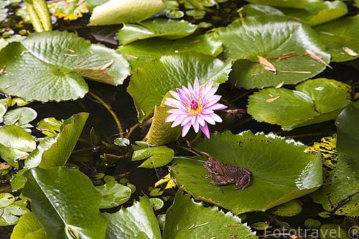 Nenufares y rana. Jardin Balata. Isla de MARTINICA. Francia. Caribe