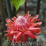 """Rosa de Porcelana. """"Nicolaia elatior"""" / Phaeomeria magnifica"""". Isla de MARTINICA. Francia. Caribe"""