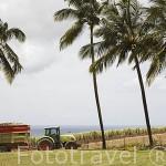 Campo de caña de azucar y el mar Caribe, cerca de ST-PIERRE. Isla de MARTINICA. Francia. Caribe