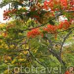 Flores de flamboyant. Isla de Martinica. Francia. Caribe
