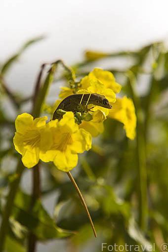 Un anolis en una flor