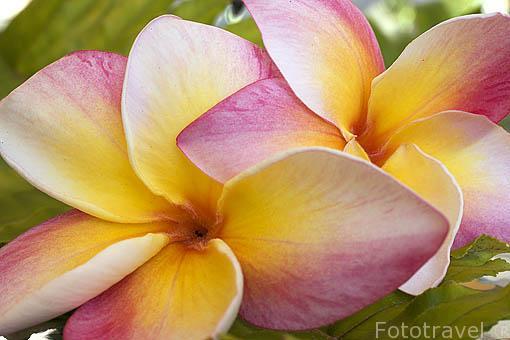 Flor de Frangipani o Plumeria rubra.