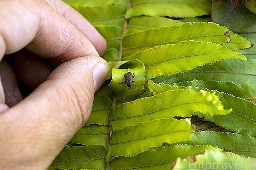 """Gorgojo """"Rhyncogonus debilis"""" endemico de la isla de RURUTU. Archipielago de las Australes. Oceano Pacifico. Polinesia Francesa"""