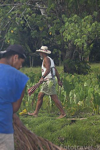 """Plantaciones de Taro. """"Colocasia esculenta"""" Tuberculo comestible. Isla de RURUTU. Archipielago de las Australes. Oceano Pacifico. Polinesia Francesa"""