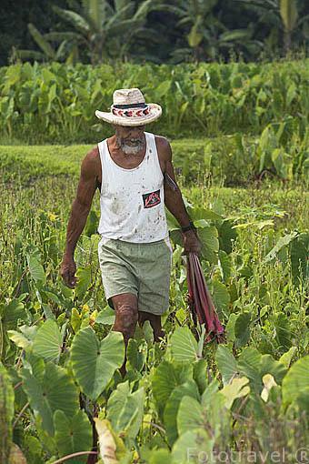 Un agricultor en las plantaciones de Taro