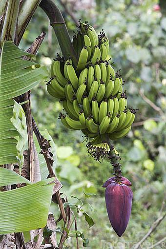 Frutas de banano. Plantaciones en la isla de RURUTU. Archipielago de las Australes. Oceano Pacifico. Polinesia Francesa
