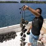 Ristras de ostras. Se deben poner en agua antes de 2hrs para que no mueran. Granja de perlas de Huahine Pearl Farm, en la isla de HUAHINE. Polinesia Francesa. Oceano Pacifico