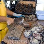 Trabajador limpiando las conchas de las ostras recien llegadas del mar para posterior tratamiento. Gauguin´s Pearl. Atolon de RANGIROA. Archipielago de Tuamotu. Polinesia Francesa.