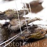 Jovenes perlas dispuestas para engancharlas en una ristra. Granja de Gauguin´s Pearl. Atolon RANGIROA. Archipielago de Tuamotu. Polinesia Francesa.