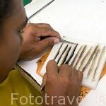 Selección de los mejores epitelios para implantarlos en jovenes ostras y asi conseguir en la perla los mejores colores. Atolon de RANGIROA. Archipielago de Tuamotu. Polinesia Francesa.