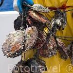 Ristras de ostras perliferas. No pueden permanecer fuera del agua más de 2 hrs. La rapidez en el trabajo es importante. RANGIROA. Archipielago de Tuamotu. Polinesia Francesa.