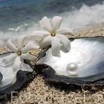 """Dos perlas redondas 10.000 $ cada una. Calidad A+.Ostra """"Pinctada margaritifera"""". Atolon de RANGIROA. Archipielago de Tuamotu. Polinesia Francesa."""