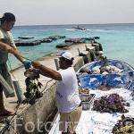 Ristras de ostras perliferas recien sacadas del agua, son transportadas a la granja para operación pertinente.Gauguin´s Pearl. RANGIROA. Archipielago de Tuamotu. Polinesia Francesa.