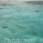 "Tiburón de aletas negras de arrecife ""Carcharhinus melanopterus"". Archipielago de Tuamotu. Polinesia Francesa. Oceano Pacifico"