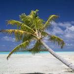 Una palmera cocotera en las playas del atolon de RANGIROA. Archipielago de Tuamotu. Polinesia Francesa. Oceano Pacifico