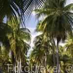 Una carretera entre palmeras cerca de la población de TIPUTA. Atolon de Rangiroa. Archipielago de Tuamotu. Polinesia Francesa. Oceano Pacifico