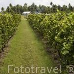 "Campo de viñedos de la empresa de vinos ""Tahiti"". Atolón de RANGIROA. Archipielago de Tuamotu. Polinesia Francesa. Oceano Pacifico"