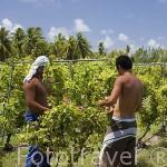"Trabajadores. Campo de viñedos de la empresa de vinos ""Tahiti"". Atolón de RANGIROA. Archipielago de Tuamotu. Polinesia Francesa. Oceano Pacifico"