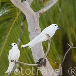 "Gaviotines ""Gygis alba"" White tern - Common white tern. Atolón de Rangiroa. Archipielago de Tuamotu. Polinesia Francesa. Oceano Pacifico"