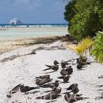 """""""Anous stolidus"""" Brown noddy descansando en una playa. Ave marina común en la Polinesia Francesa. Atolón de RANGIROA. Oceano Pacifico"""
