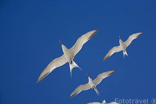 "Charran crestado macho en vuelo. ""Sterna bergii"" Great Crested Tern. Atolon de RANGIROA. Archipielago de Tuamotu. Polinesia Francesa. Oceano Pacifico"