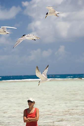 """Charranes crestados en vuelo. """"Sterna bergii"""" Great Crested Tern. Atolon de RANGIROA. Archipielago de Tuamotu. Polinesia Francesa. Oceano Pacifico"""