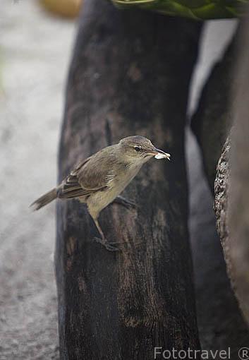 "Tuamotu Reed-warbler ""Acrocephalus atyphus"". (Kotiotio) Atolón de RANGIROA. Archipielago de Tuamotu. Polinesia Francesa. Oceano Pacifico"