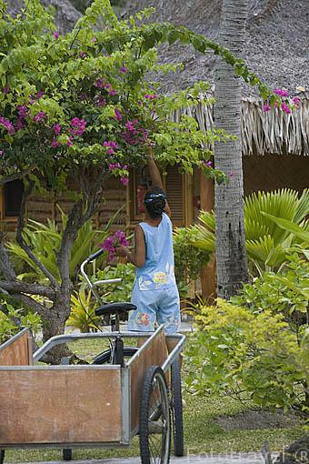 Chica polinesia recogiendo flores para decoracion. hotel Kia Ora. Cerca a la población de AVATORU. Atolón de Rangiroa. Archipielago de Tuamotu. Polinesia Francesa. Oceano Pacifico