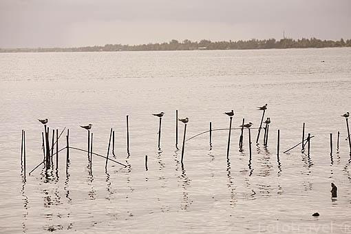 "Charranes crestados reposando al atardecer. ""Sterna bergii"" Great Crested Tern. Atolon de RANGIROA. Archipielago de Tuamotu. Polinesia Francesa. Oceano Pacifico"