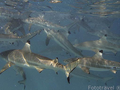 """Tiburón de aletas negras de arrecife """"Carcharhinus melanopterus"""". Atolon de RANGIROA. Archipielago de Tuamotu. Polinesia Francesa. Oceano Pacifico"""