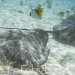 Pareja de rayas (Himantura sp.) en las aguas claras del atolon de RANGIROA. Archipielago de Tuamotu. Polinesia Francesa. Oceano Pacifico