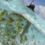 Chica alimentando a peces de colores. Atolón de RANGIROA. Archipielago de Tuamotu. Polinesia Francesa. Oceano Pacifico