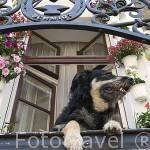 Perro en el balcon de una casa. Ciudad de TORUN. (Unesco). Kuyavia- Pomerania. Polonia