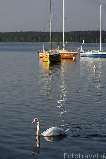 """Cisne """"Cygnus olor"""". Embarcaciones de recreo en el lago de Koronowo cerca de la ciudad de BYDGOSZCZ. Region de Kuyavia- Pomerania. Polonia"""